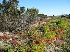 Walk the pretty Vygie Trail at Yzerfontein during flower season. It's a short, easy strollabout in the West Coast, South Africa Spring Flowers, Road Trips, West Coast, Spring Time, South Africa, Cape, Trail, Southern, African