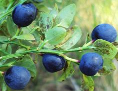 looking for a wild blueberries Claudia's Secrets School of life