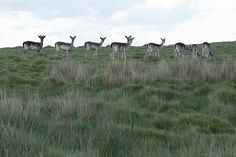 Fallow Deer near hill brow.  Location: Petworth Park, West Sussex, UK