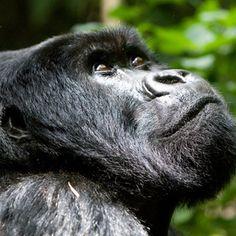 Artenlexikon: Östlicher Gorilla (Gorilla beringei) - WWF Deutschland