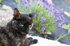 Levendula virágzás és szüret 2015 Lavender Soap, Purple, Cats, Animals, Gatos, Animales, Animaux, Animal, Cat