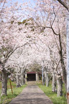 桜のトンネル、とある寺にてー富津市