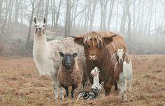 Juxtapoz Magazine - Best of 2014: Glamour Shots for Goats -- sheep, horses, pigs, etc. -- farm animals -- photos