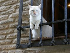 Blue-eyed white cat looking from a window - Toledo (Spain)
