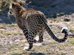 Léopard en fuite,  vers Nambwa campsite dans le parc national de Mudumu, Namibie