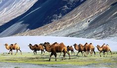 <i>Bactrian Camels, Nubra</i>. Photograph by John Hill / Wikimedia Commons
