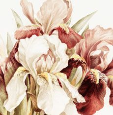 Isn't this lovely?! Shown here is a Beautiful Public Domain Iris Picture! This is such a pretty picture, featuring loads of Pink and White Iris Flowers.  So lovely for your Floral themed projects! For even more lovely Vintage Flower Images, be sure and check out the post 50 Favorite Free Flower Images HERE. Hello! Are you...Read More »