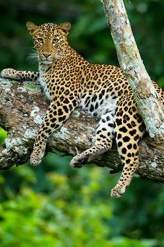 Leopard bySudhir Shivaram