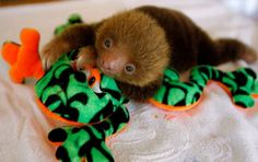 Cute Baby Sloth-- how is this not your favorite animal??