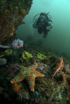 Fire Brick Sea Star (Asteroidea) - Jervis Bay, Australia by Rowland Cain