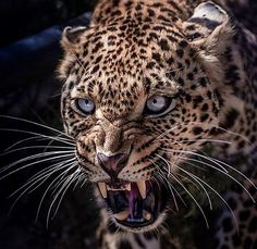 There is beauty in anything wild and free. Nature Animals, Animals And Pets, Cute Animals, Beautiful Cats, Animals Beautiful, Amazing Beasts, Jaguar Leopard, Serval Cats, Wild Animals Photos