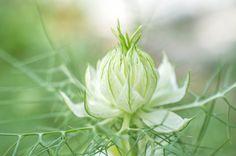 Černucha damašská, white flower, letnička