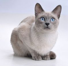 Lovely Siamese Cat. #Siamese #Cat