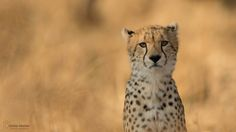 cheetah face by Christian Sanchez on 500px