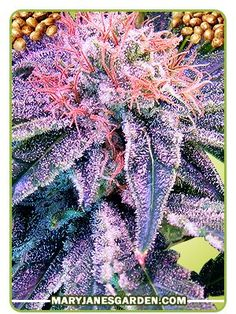 Buy Blue Mystic Marijuana Seeds The blues of the buds are particularly evident in the latter stages of the Blue Mystic plant, especially when there is a good condition of growing provided.