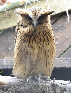 Buffy Fish Owl  http://honeygirl1946.tumblr.com