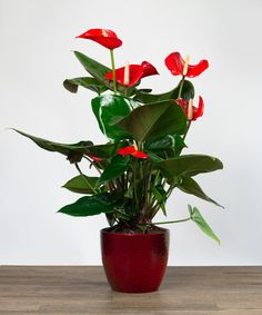 Anthurium Plant-Send a touch of the tropics to your recipient! A long lasting anthurium is the prefect plant for a touch of bright color to your home or office. Perfect indoors and outdoors, this wonderful hearty plant is easy to care for. #ValentinesDay #ValentinesDayFlowers #CasasAdobesFlowerShop #TucsonFlorist