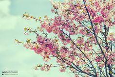 Cherry Blossom by schabnamfateh