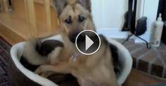 Esse cão fica de orelhas em pé ao ouvir outro pastor alemão na internet!