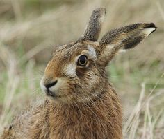 Love brown hares, they are my power animals.