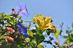Title: Morning Glory And Hibiscus V   Artist: Linda Brody