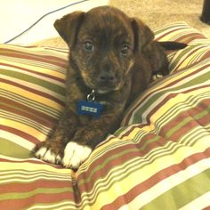 My new puppy Duke! He's a boxer German Shepard mix.