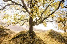 Vielen Dank an Tobias Ryser für das tolle Naturfoto! Im richtigen Licht wirkt der Ahornhain wie verzaubert - goldene Sonnenstrahlen erleuchten das Herbstlaub. Mehr auf www.tobias-ryser.ch und www.fotos-fuers-leben.ch