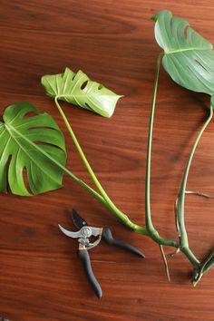 Good to Know: How to Propagate a Monstera (and other care tips) Water Garden, Garden Plants, Indoor Plants, Monstera Deliciosa, House Plants Decor, Plant Decor, Household Plants, Cheese Plant, House Plant Care