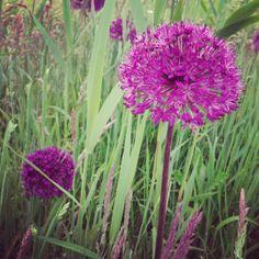 Felle kleuren in de natuur:Allium