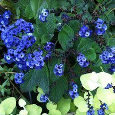A-Heliotrope-Blue-PT.jpg 580×580 pixels