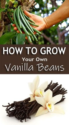 For all those who love the aromatic vanilla flavor, here we describe the steps involved in growing vanilla beans indoors. Vanilla (Vanilla planifolia) is a climbing orchid native to Mexico Growing Tomatoes Indoors, Growing Vegetables, How To Grow Tomatoes, Growing Green Beans, How To Grow Artichokes, Plants To Grow Indoors, Regrow Vegetables, Growing Onions, Vegetables Garden