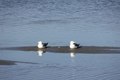 366/60 Sea gulls