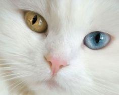 Van Cat, (One Eyes Blue And Other Eyes Yellow) #Van, Türkiye #turkey #seeyouturkey #travel #vacation #türkei #tурция #turquie #turchia #turquía #تركيا #トルコ #旅行 #photooftheday #travelling #vacaturkey #travelguide #trip #photography #写真撮影 #سفر #instatravel #reise #voyager #placestogo #urlaub