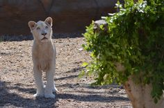 León blanco en Río Safari Elche White lyon ante Rio Safari Elche (Alicante, #Spain) Panther, Safari, Cats, Lion, Parks, White People, Animales, Gatos, Kitty