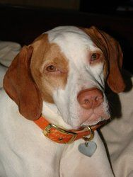 Kayla is an adoptable English Pointer Dog in Addison, IL. Kanga is doing well in her new foster home. She had a great time at the 65+ acre dog park in Wauconda and ideally she needs an adopter that ca...