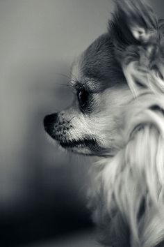 I have a short hair #chihuahua but this would be the next kind I'd get