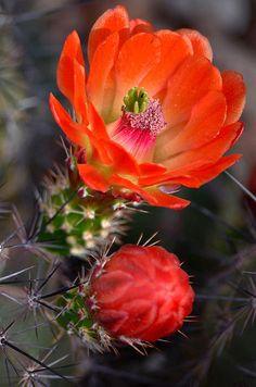 Claret Cup Cactus by Deb Halloran   Fine Art America