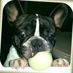 Ni mit hoztam :) French Bulldog, Dogs, Animals, Animales, Animaux, French Bulldog Shedding, Pet Dogs, Bulldog Frances, Doggies