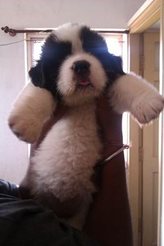 This pup who looks more like a panda cub than a puppy. | 21 Puppies Who Won't Be Small For Long