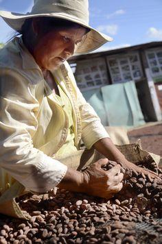 Grano de cacao criollo, seleccionado cuidadosamente para mantener sus características organolepticas al momento del proceso de los #chocolates #fincasanantonio