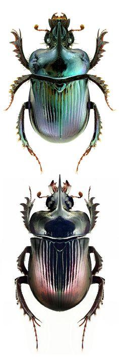 Ceratophyus rossi