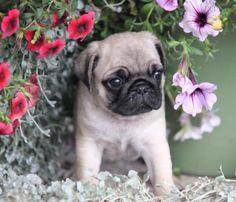 Pug cutie pie