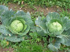 G & M - Χρώμα... Ελληνικό!    Καλλιέργεια λάχανου