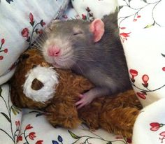 Two photographers started taking adorable pictures of their pet rats posing with miniature teddy bears