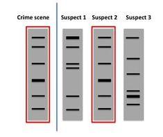 Crime Scene Genetics: Transforming Forensic Science through Molecular Technologies Human Dna, Human Genome, Dna Fingerprinting, Dna Technology, Mitochondrial Dna, Forensic Science, Dna Test