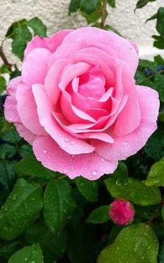 Pretty pink rose...