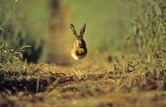 The photographer caught this brown hare at the perfect moment. It looks like the hare is flying. Great moment !