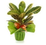 Croton plant. The new leaves will be green and yellow to turn red as new grow.