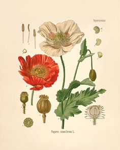 Red poppy art antique prints flower art print botanical prints Home decor wall art Vintage prints Victorian art old prints plant art print