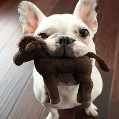 French Bulldog wants to share his horse!